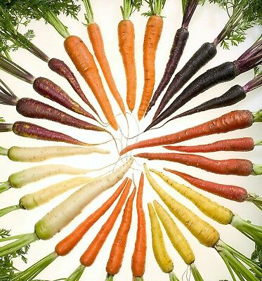 500 RAINBOW CARROT MIX White Red Yellow Purple Orange Daucus Carrota Seeds +Gift