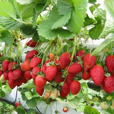 500 UK Seeds Red Giant Strawberry Climbing Unique Fruit Plant Home Garden Pot