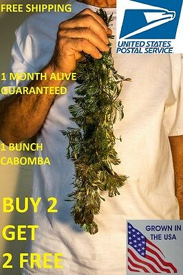 BUY2GET2FREE Cabomba fanwort Tropical Live Aquarium Plants Bunch planted tank