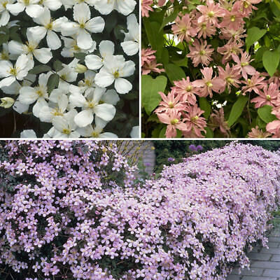 Clematis Montana Broughton Star Double Salmon-Pink Flowers in Spring to Early Summer 1litre Pot Grown