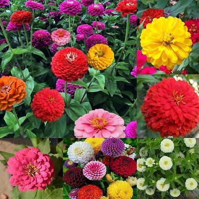 200 MIXED COLORS CALIFORNIA GIANT ZINNIA Elegans Flower Seeds