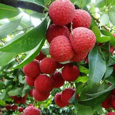 10pcs Fresh Lychee Litchi Seeds Delicious Sweet Seasonal Fruit Tree Bonsai .Pop