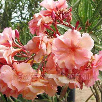 Nerium oleander Mrs Roeding (Established Plant) - 67mm x 150mm Pot