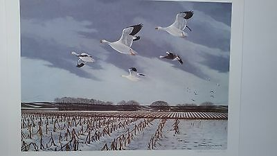 SNOW GOOSE Blue Goose, Signed and Numbered Print, Richard Evans Younger