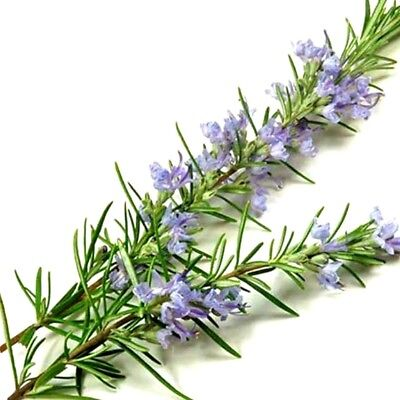 10ml Rosemary Essential Oil - 100% Pure & Natural Aromatherapy Grade Oils