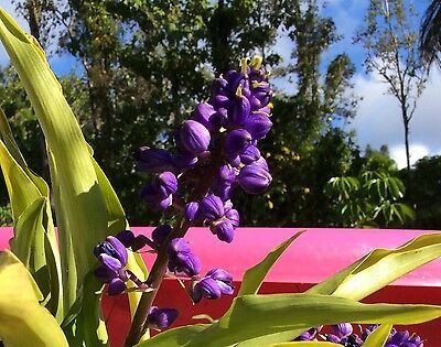 """5+ Beautiful Hawaiian Blue Ginger! Blue Flower Plant Cuttings/Plants Are 5""""-9""""!!"""