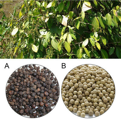 200PCS White / Black Pepper Peppercorn Heirloom Seed Spice Nigrum Seeds Plant