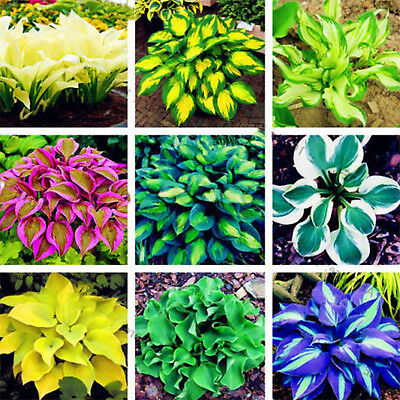 200PC Hosta Plantaginea Seeds Fragrant Plantain Flower Fire And Ice Shade Mix NE