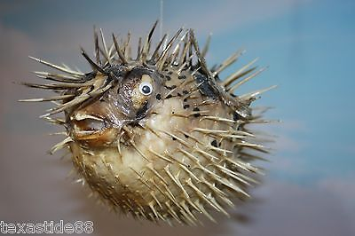 "(1)pc,12"",SEAFOOD RESTAURANT DECOR, PORCUPINE FISH, PRESERVED PORCUPINE FISH"