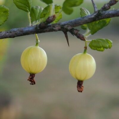 Gooseberry Grossulariaceae Invicta Ribes Uva-Crispa Cooking Fruit Bush - 3L Pot