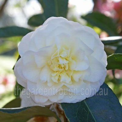 Camellia japonica Lemon Drop (Established Plant) - 67mm x 150mm Pot