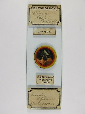 Antique Microscope Slide by Clarke & Page. Wing of exotic Butterfly. Madagascar