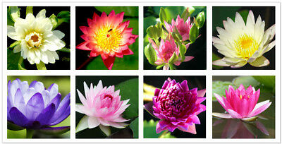 100x Bowl Lotus Seeds Flower Water lily Perennial Nymphaea Mesprout Aquatic
