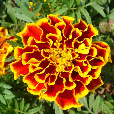 100Pcs Tagetes Patula Seeds French Marigold Mixed Flower Garden Balcony Cheap