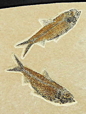 Super FINE Bones! TWO! 100% Natural 50 Million Year Old Fossil Fish Wy 577gr e