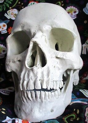 Human Anatomical Skull Plaster Medical Model 5 1/2 inch Height x 4 1/2 inch Widt