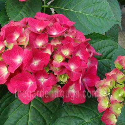 Hydrangea macrophylla Kirsten (Established Plant) - 67mm x 150mm Pot