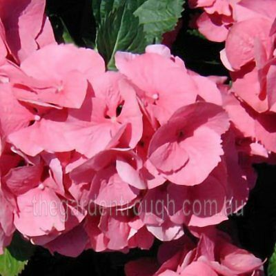 Hydrangea macrophylla Tosca (Established Plant) - 67mm x 150mm Pot