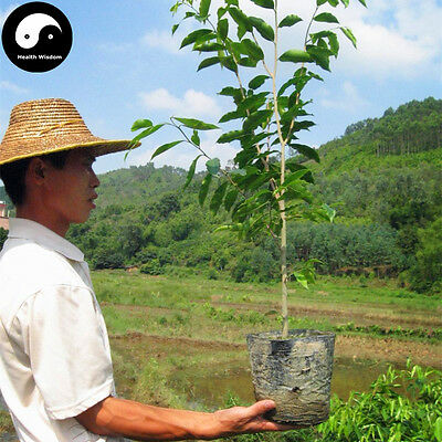 Real Aquilaria Sinensis Tree Seeds 30pcs Plant Agarwood Scented Grow Free ship