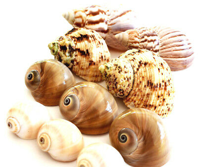 10 Hermit Crab Changing Shell Set Medium Size Land Snail, Moon Shells, Turbo.