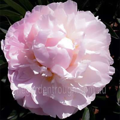 Mossi (Established Plant) Peony Rose - Bare-rooted