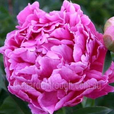 Mme Jos V Odier (Established Plant) Peony Rose - Bare-rooted