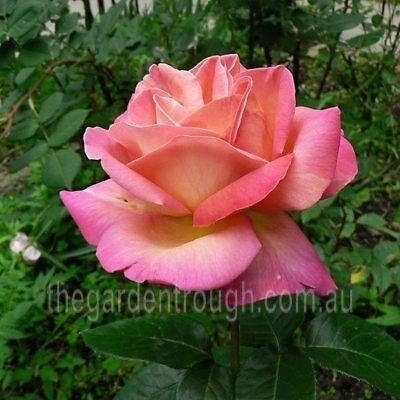Chicago Peace (Established Plant) Rose - Bare-rooted