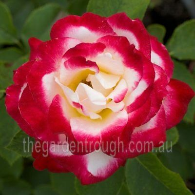 Double Delight (Established Plant) Rose - Bare-rooted