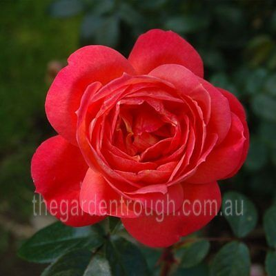Queen of Hearts (Established Plant) Rose - Bare-rooted