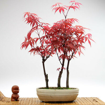Quality 30pcs/Bag Japanese Maple Red Tree Perennial Seeds Create Your World!