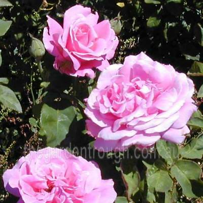 Perfume Delight (Established Plant) Rose - Bare-rooted