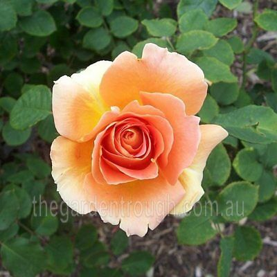 Apricot Nectar (Established Plant) Rose - Bare-rooted