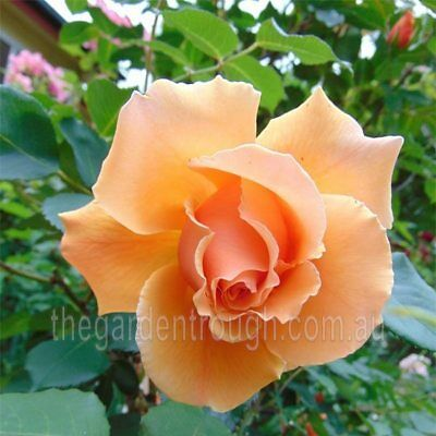 Just Joey (Established Plant) Rose - Bare-rooted