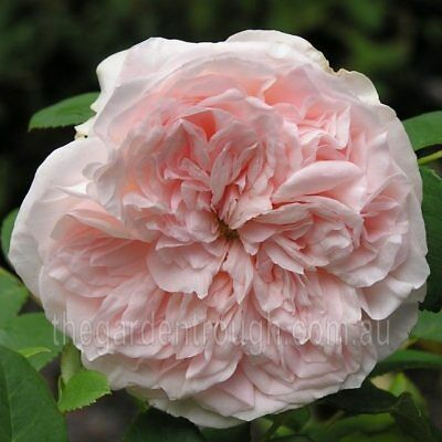 Claire Rose (Established Plant) Rose - Bare-rooted
