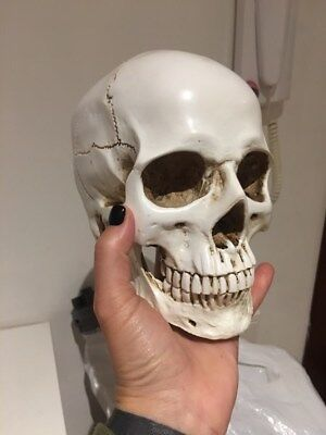 lifesize 1:1 Human Skull Replica Resin Model Medical Realistic white decoration