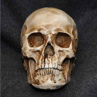Human Skull Replica Resin Model Medical Realistic lifesize  imitation decor