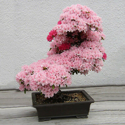 10Pcs Flower Seeds Cherry Bonsai Bonsai Tree Japanese New Blossoms Sakura Seeds