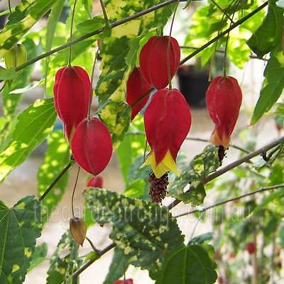 Abutilon megapotamicum variegatum Bell (Established Plant) - 67mm x 150mm Pot