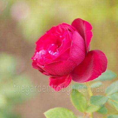 The Squire (Established Plant) Rose - Bare-rooted