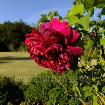 The Dark Lady (Established Plant) Rose - Bare-rooted