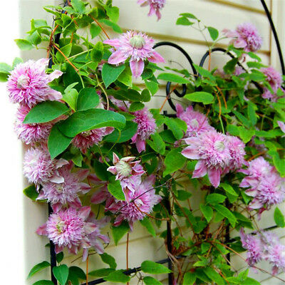 50Pcs 24 Colors Clematis Mixed Climbing Plants Seeds Flower Home Garden Decor