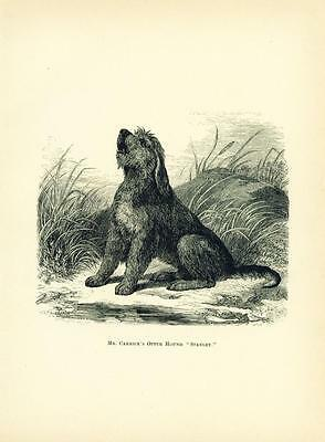 ANTIQUE Engraving Print England 1878 Otterhound Dog