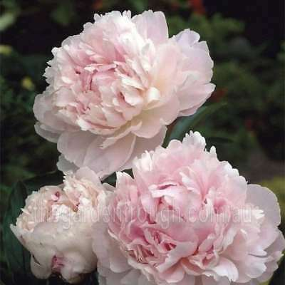 Marguerite Gerard (Established Plant) Peony Rose - Bare-rooted
