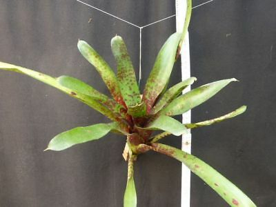 Neoregelia Betty Head, aufgebunden