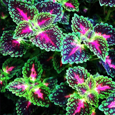 100pcs Japanese Bonsai Mix Coleus Seeds Colorful Flower Leaves Plant Home Garden