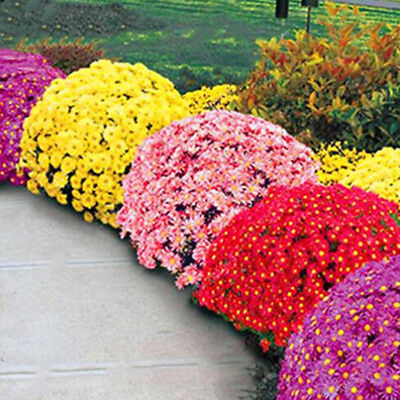 100Pcs Multicolor Ground-cover Chrysanthemum Seeds Perennial Daisy Flower Seeds