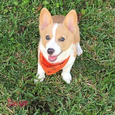 Puppy Corgi Photos Qty 6 Jpegs Only Puppy Images