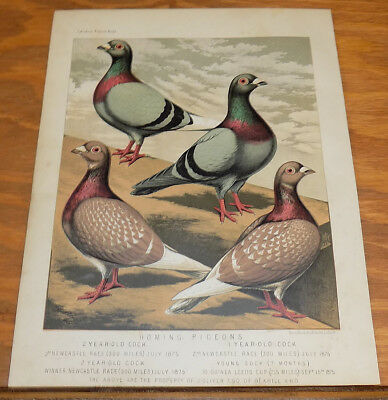 1876 Antique COLOR Pigeon Print///HOMING PIGEONS