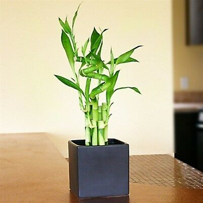 "10x Fresh Seeds ""LUCKY  Bamboo Rare Plant Free Post"