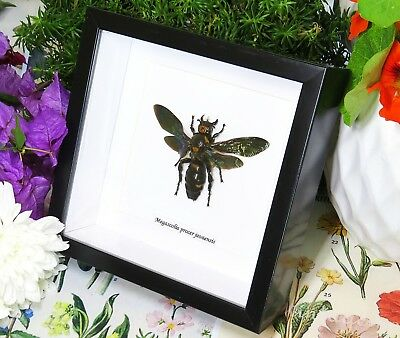 Wasp Taxidermy for sale collectible mounted Megascolia procer javanensis BBMPJ